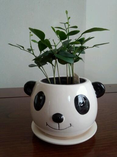 100均パンダカップに観葉植物