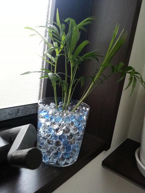 観葉植物をビー玉を入れた容器に植え替え