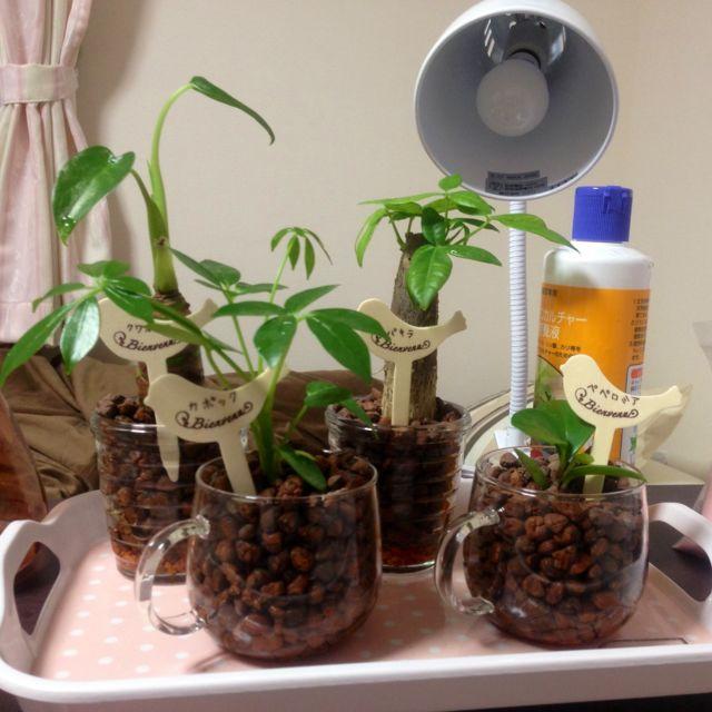 左からクワズイモ、カポック、パキラ、ペペロミア